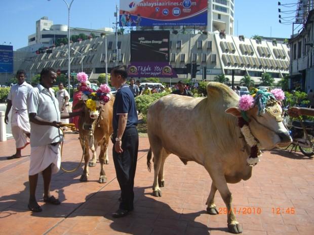 20100129_Thaipusam (7)s