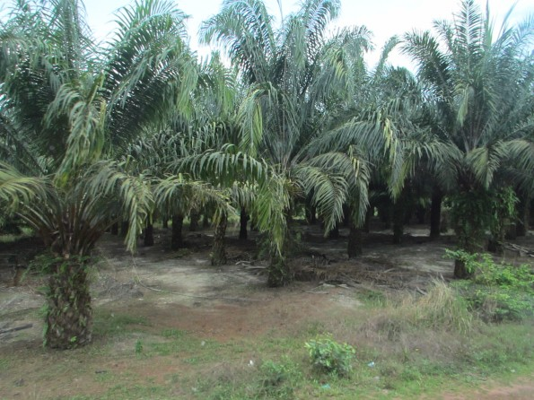 OMG, palm oil palms!!