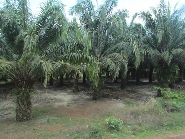 OMG, palm oil palms!!