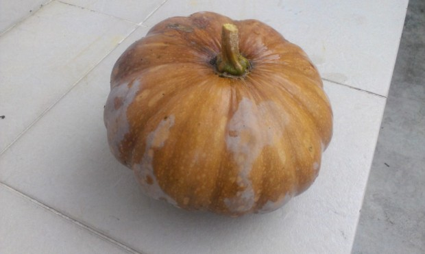 Pumpkin I picked the other day. I seem to have at least three varieties of pumpkin.