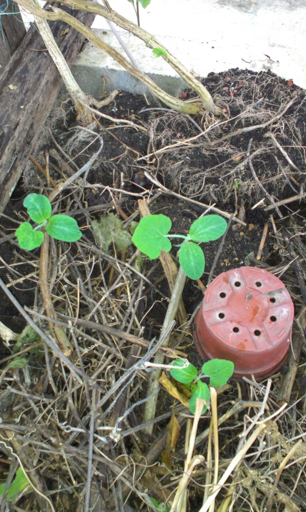 Three new pumpkin plants that have just started growing from the compost