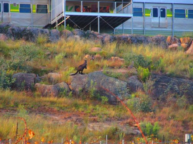 a wild kangaroo