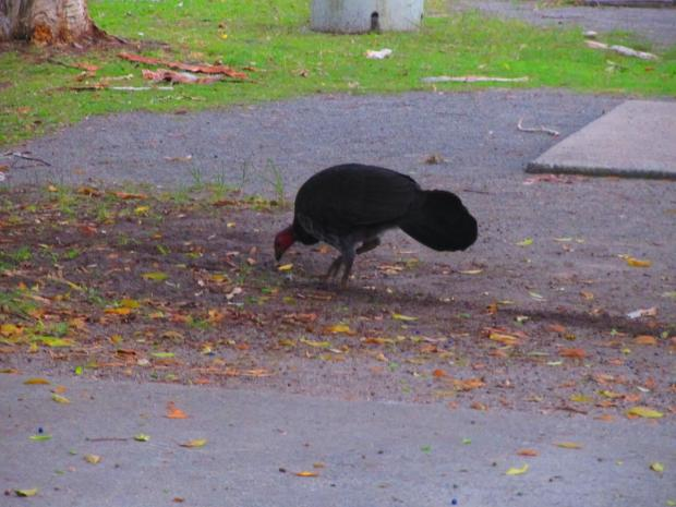 a bush turkey at a campground