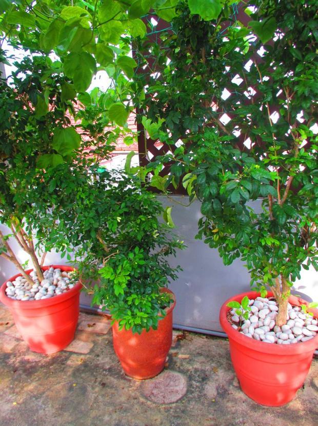 three mock orange trees