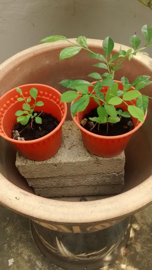 mock orange seedling