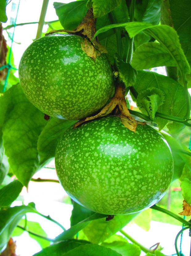 green passion fruit