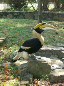 hornbill at Penang Bird Park