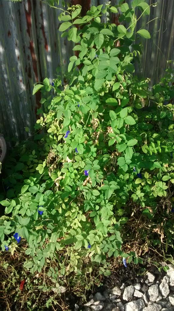 blue pea flower