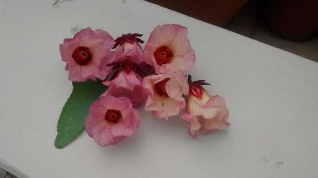 roselle flowers