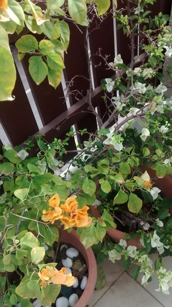 bougainvillea recovered