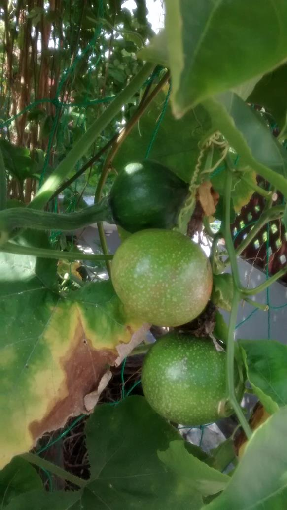 so many green passion fruit