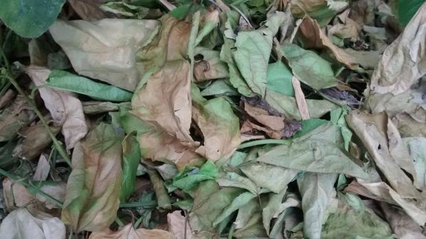passion fruit leaves on garden