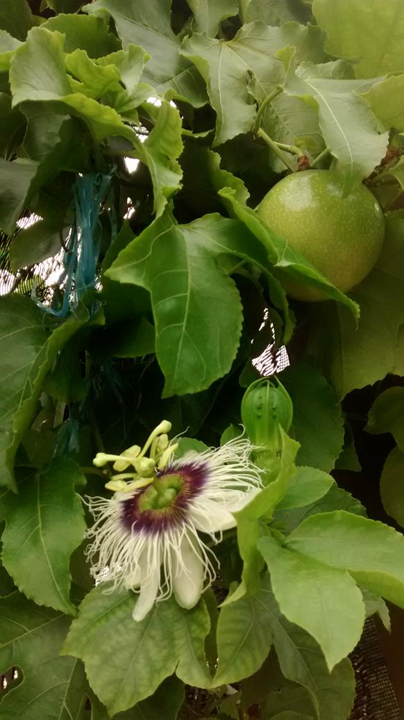 one of many passion fruit flowers