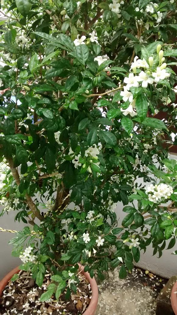 the mock orange loved the rain