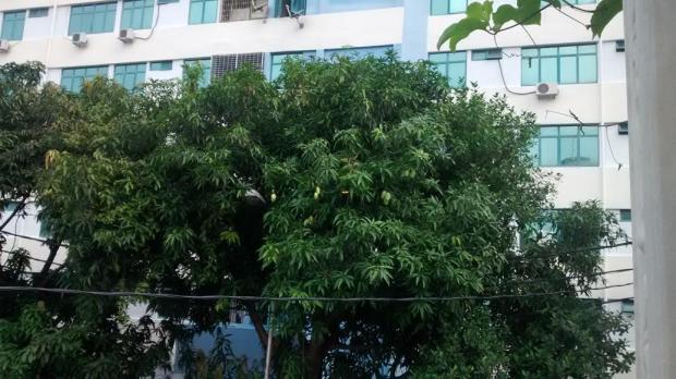 mango tree across the road - with lots of ripening mangos