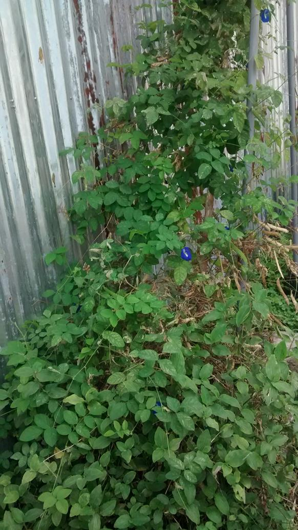 blue pea plant grwing well as usual