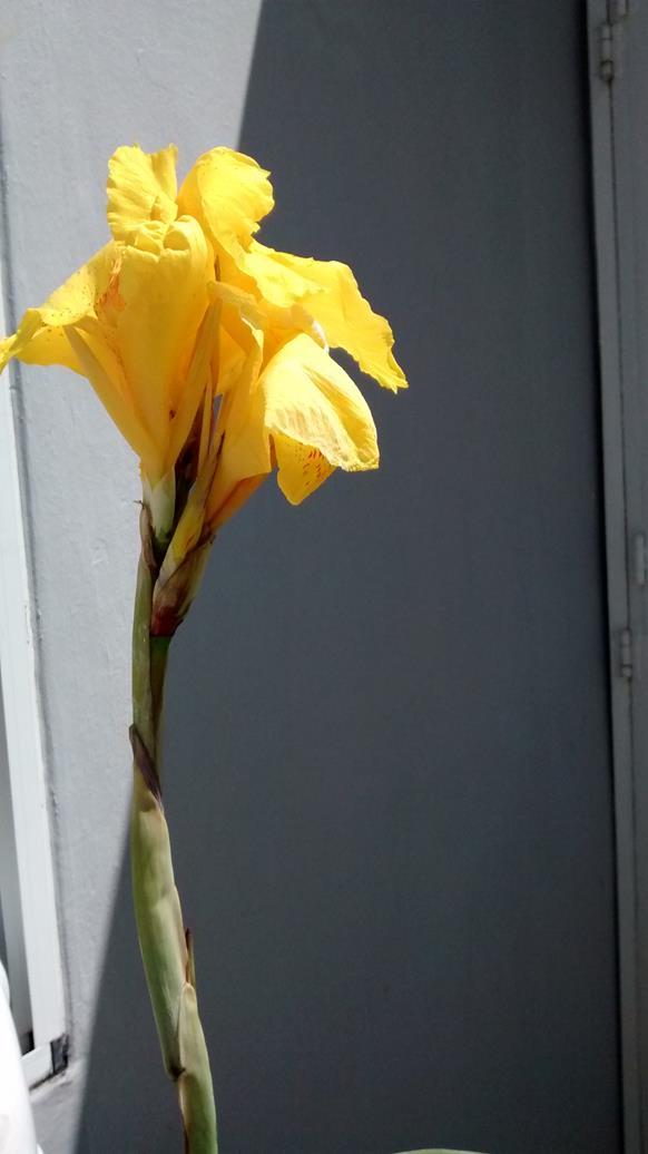 cana lily