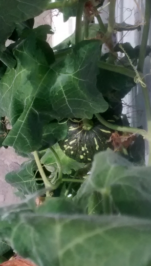 the one pumkin so far growing towards full size