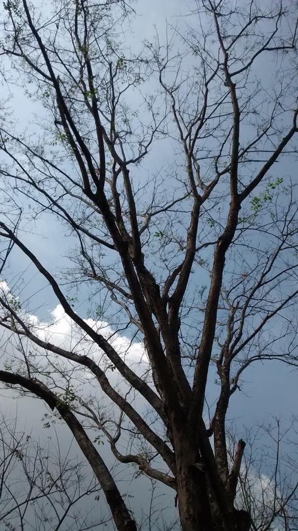 desciduous trees