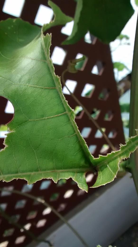 grasshoppers eat passion fruit vine leaves