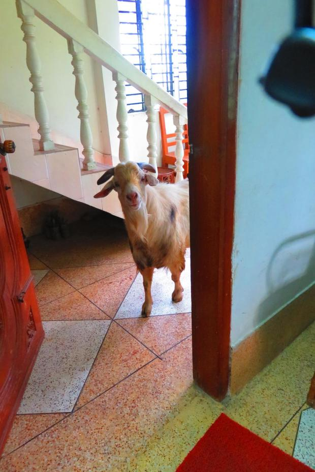 curious goat comes into house