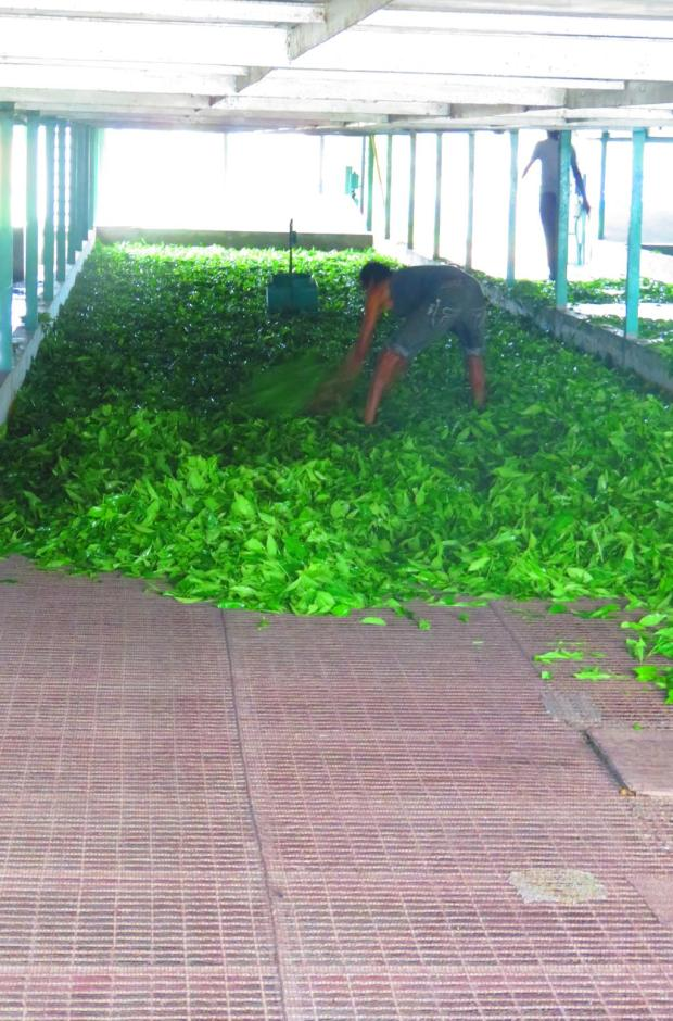 freshl picked tea leaves drying
