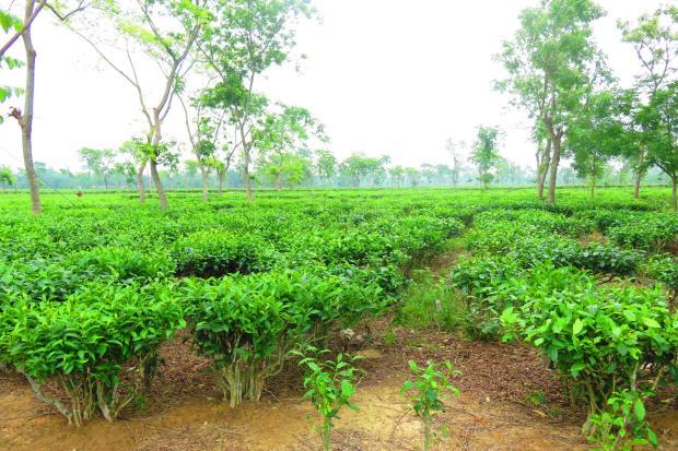 tea region