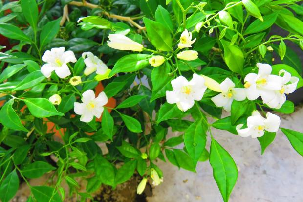 another mock orange
