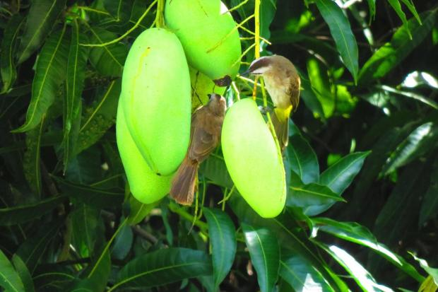 birds eat mango