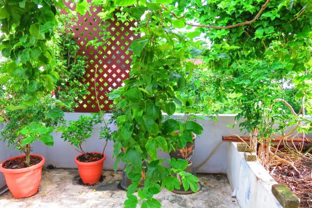 passion fruit vines are growing rapidly