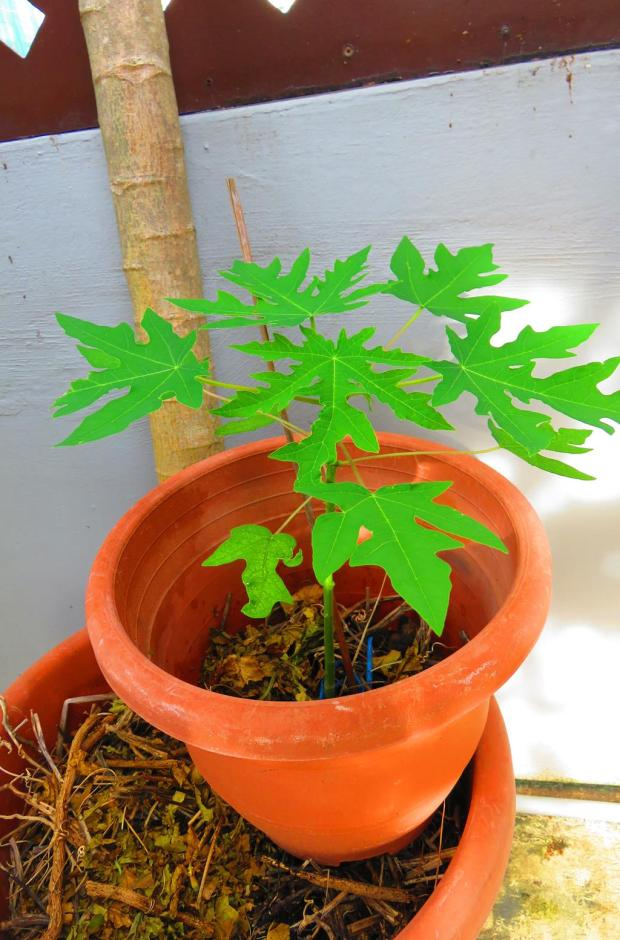 the lone surviving papaya in this pot after all leaves on all plants were attacked by bird or grasshopper