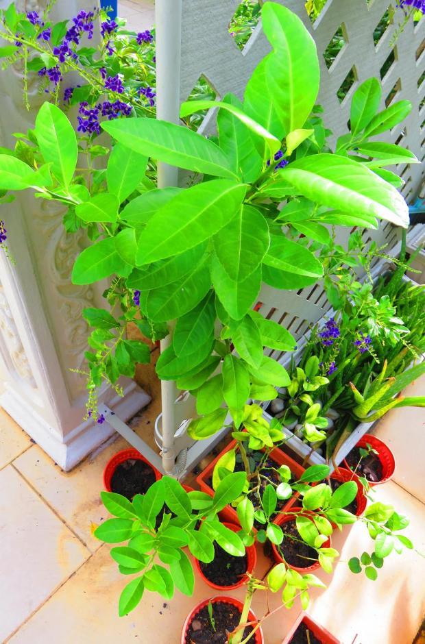 keffir limes are growing well