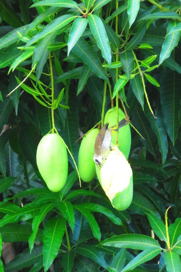 birds love the mangos on the huge mango tree on the road