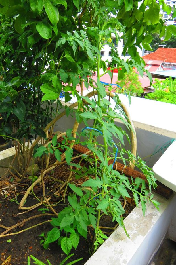 tomato - which grew from the compost