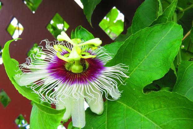 with the rain come passion fruit flowers