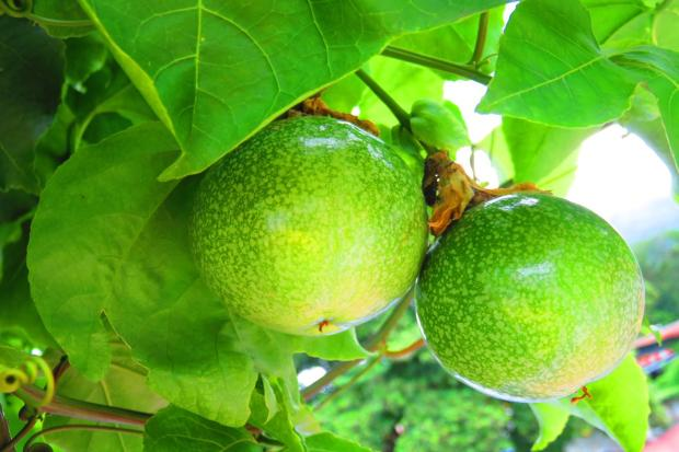so many passion fruit growing now