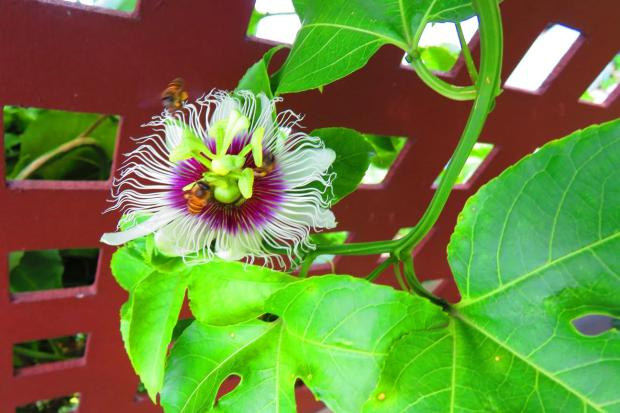 passion fruit flowers and busy bees