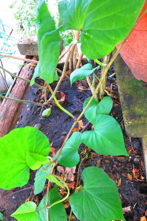 beans from Balik Pulau