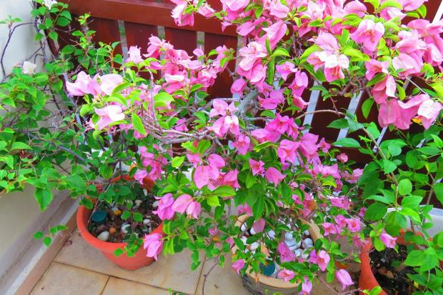 bougainvillea - not so happy with so much rain