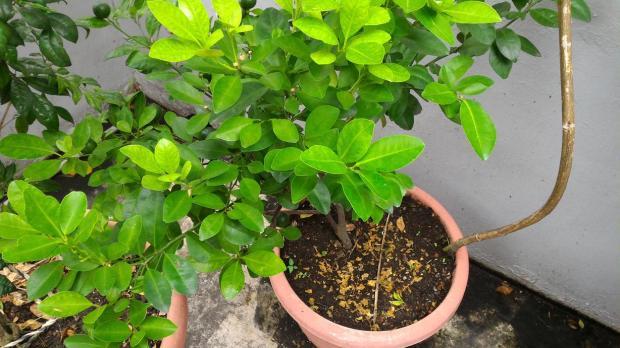 happy lime tree
