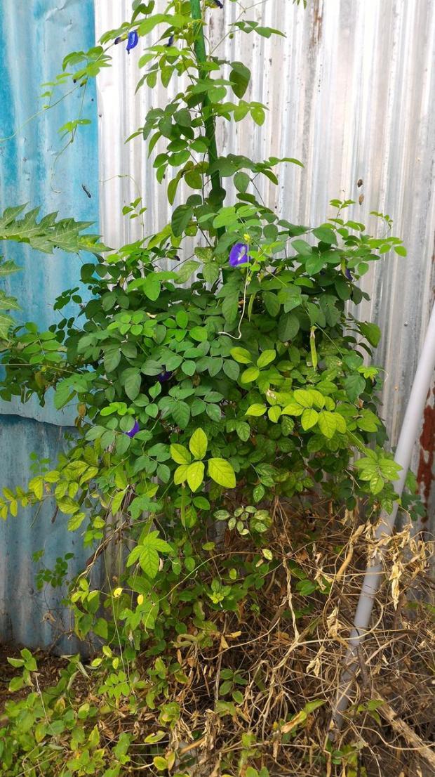 blue pea flower
