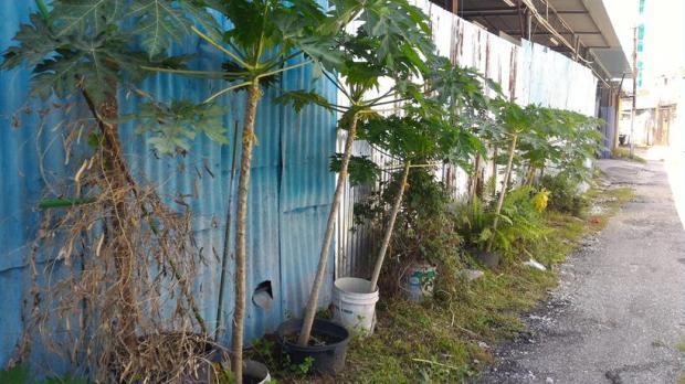 other papaya live on