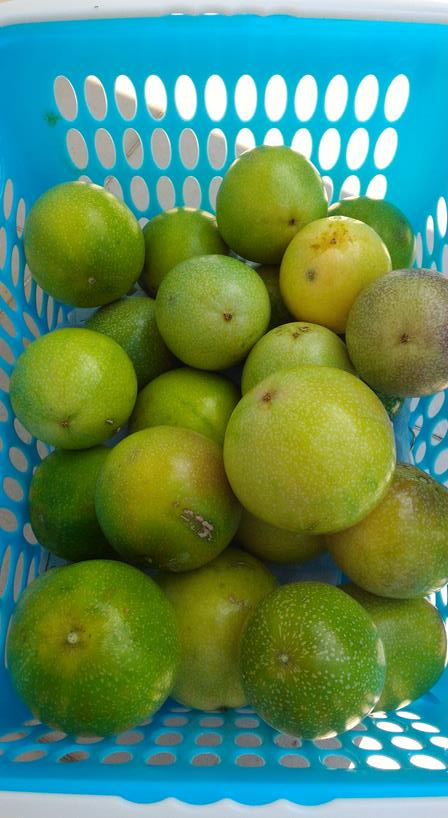 one day I picked 35 passion fruit