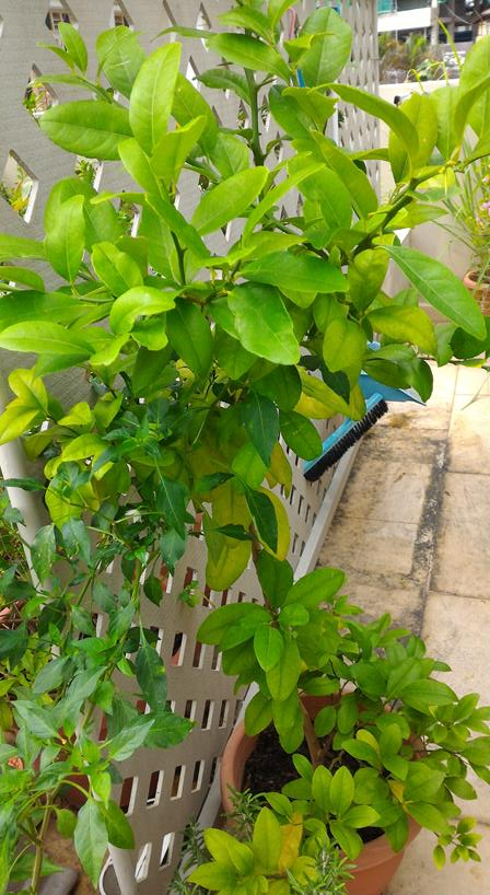 we think it's a lemon tree