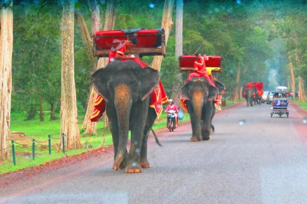 elephants - tourist transport - they are going back for lunch