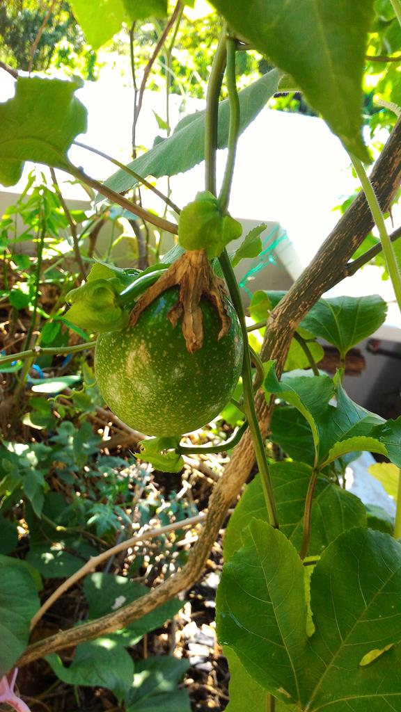 a few passion fruit are still growing