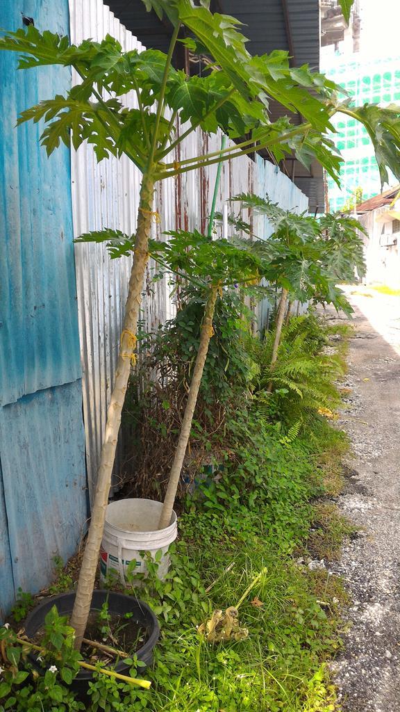 papaya surviving