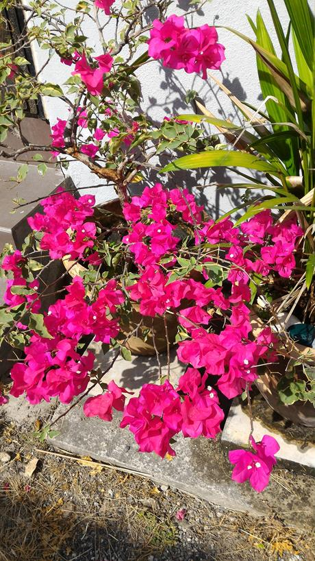 Bougainvillea are naturally happy with this weather