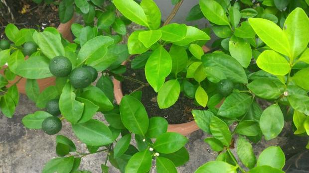 limes growing