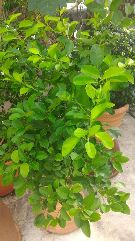 limes growing